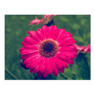 Rosa Gerbera-Gänseblümchen in der Blüte Postkarte