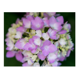 Rosa Hydrangea-Blumen-Blumenpostkarte Postkarte