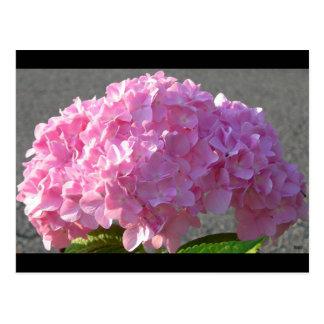 Rosa Hydrangea Postkarte