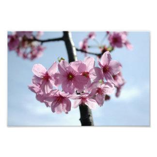 Rosa Kirschblüten und hellblauer Himmel Photodruck