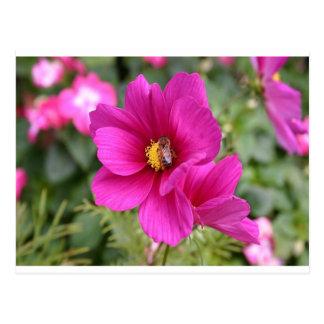 Rosa Kosmos mit einer Wespe Postkarte