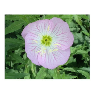 Rosa mexikanische Primel-Blumen-Foto-Postkarten Postkarte