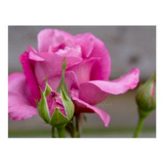 Rosa Rose jjhelene Postkarten-Entwurf Postkarte
