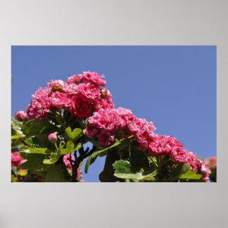 Rosa Rosen-blauer Himmel-Plakat