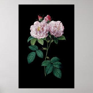 Rosa Rosen Redoute des schwarzen Poster