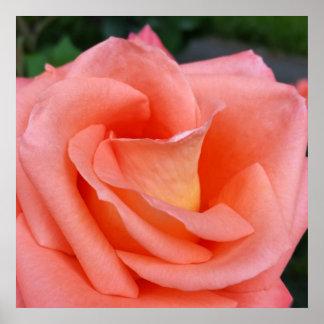 rosa farbe der rose poster designs. Black Bedroom Furniture Sets. Home Design Ideas