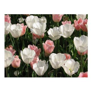 Rosa u. weiße Tulpen Postkarte