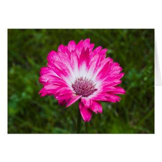 Rosa u. weißes Gerbera-Gänseblümchen in der Blüte Karte