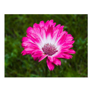 Rosa u. weißes Gerbera-Gänseblümchen in der Blüte Postkarte
