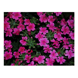 Rosa Verbene-Blumen-Postkarte Postkarte