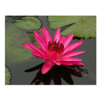 Rosa Wasser-Lilie #50n 0500 SG Postkarte