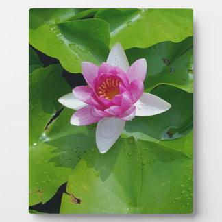 Rosa Wasser-Lilie auf Grün füllt Fotografie auf Fotoplatte