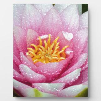 Rosa Wasserlilien-Blume Fotoplatte