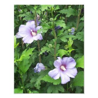 Rose des fleurs de ketmie de Sharon Impressions Photo