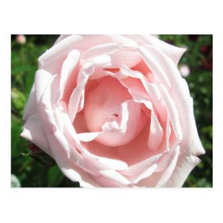 Rosen-Öffnungs-Sonnenlicht Postkarte
