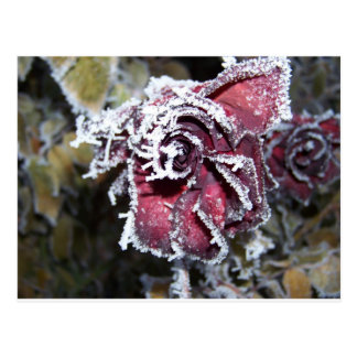 Roses d'hiver carte postale