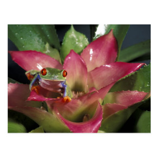 Rot-mit Augen Baumfrosch Agalychnis callidryas) Postkarte