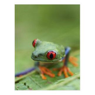 Rot-mit Augen Baumfrosch (Agalychnis callidryas) Postkarte