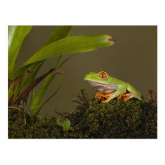 Rot-mit Augen Blatt-Frosch, ALIAS Rot-mit Augen Postkarte