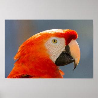 Rote Papageien-Vogel-wild lebende Tiere Poster