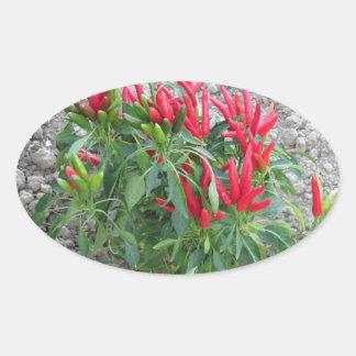Rote Paprikaschoten, die an der Pflanze hängen Ovaler Aufkleber