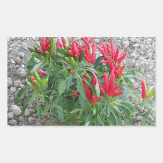 Rote Paprikaschoten, die an der Pflanze hängen Rechteckiger Aufkleber