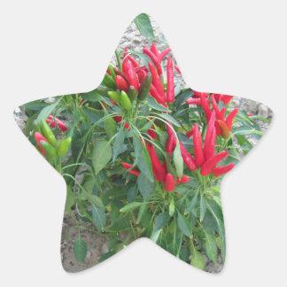 Rote Paprikaschoten, die an der Pflanze hängen Stern-Aufkleber