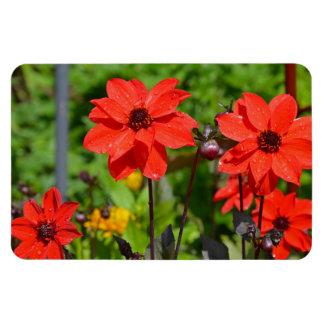 Roter Dahlie-Blumen-Druckmagnet Magnet
