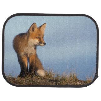 roter Fuchs, Vulpes Vulpes, im 1002 Bereich von Autofußmatte