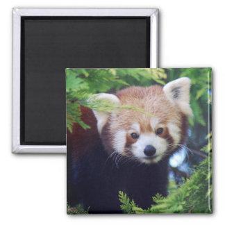 Roter Panda Quadratischer Magnet