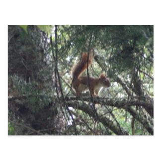 Rotes Eichhörnchen-Postkarte Postkarte