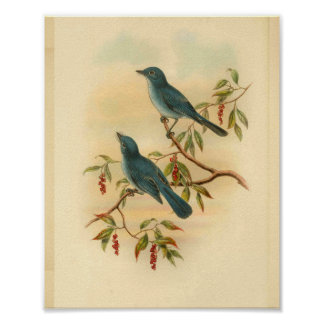 Rowleys blauer Flycatcher-Vogel-Vintager Druck Poster