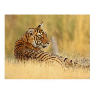 Royale bengalischer Tiger, der außerhalb sitzt Postkarte
