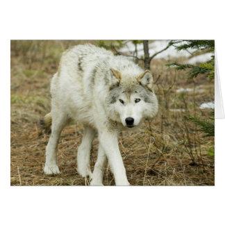 Sägezahn-Satz: Wölfe der Nez Perce Mitteilungskarte