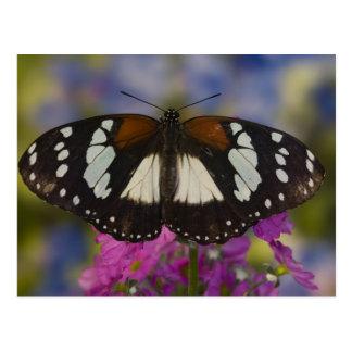 Sammamish, Washington. Tropische Schmetterlinge 41 Postkarte