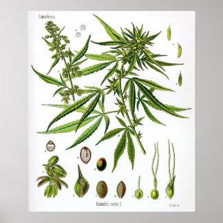 SativaPflanzen-Vintages Botanik-Zeichnen Poster