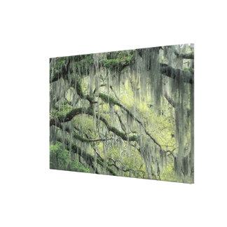 Savanne, Georgia, Live Oak-Baum drapierte mit Galerie Gefaltete Leinwand
