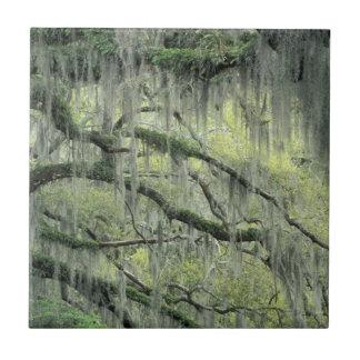 Savanne, Georgia, Live Oak-Baum drapierte mit Keramikfliese