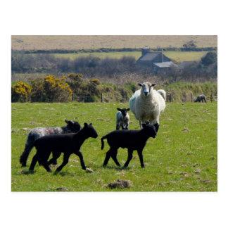 Schaf-Lämmer Bodmin machen Cornwall England fest Postkarte