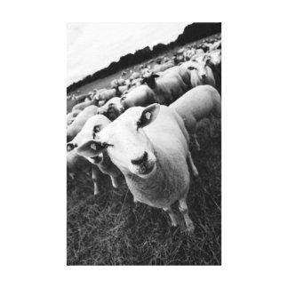Schafe Schwarz Weiß Foto Gespannter Galerie Druck