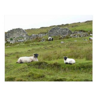 Schafe von Irland Postkarte
