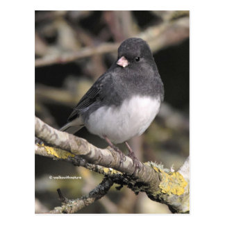 Schiefer-Farbiger Dunkel-Mit Augen Junco auf dem Postkarte