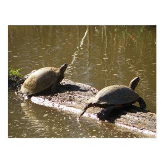 Schildkröten Postkarten