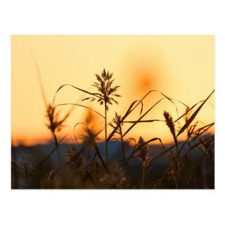 Schilfe an der Sonnenunterganglichtpostkarte Postkarte