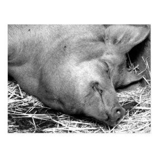 Schlafenschwein-Schwarzweiss-Foto-Postkarte Postkarte