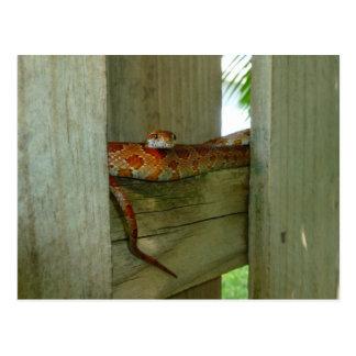 Schlange der roten Ratte im Zaunkopf oben Postkarte