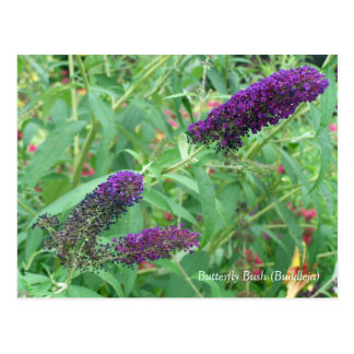 Schmetterling Bush Buddleja Davidii mit Blumen Postkarte