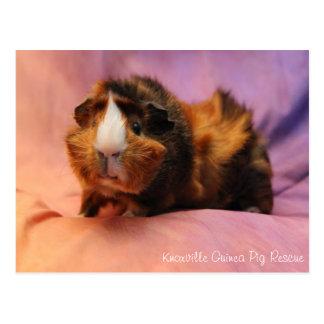 Schöne Meerschweinchen-Postkarte Postkarte
