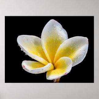 Schöne weiß-gelbe Plumeria-Blume Poster