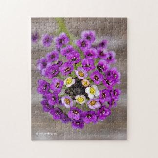 Schöner lila süßer Alyssum
